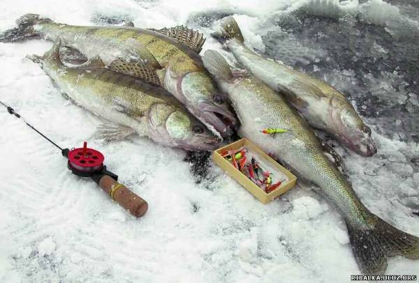 Советы по ловле судака на балансир зимой