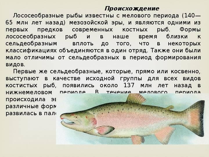 Лосось: как выглядит и где обитает рыба