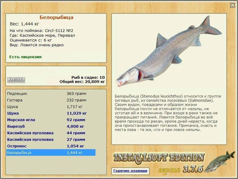 Описание белорыбицы: среда обитания, питание и размножение рыбы нельмы, способы ловли