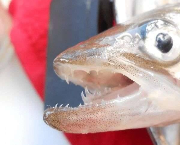 Корюшка — где водится и чем питается рыба, как ловить, снасти, фото