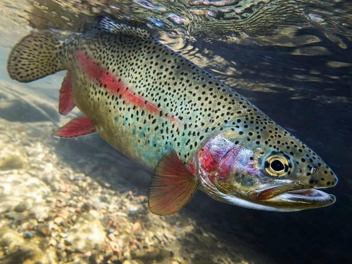 Виды форели, форель описание, форель среда обитания, повадки, фото и видео. | рыболовные туры по абхазии