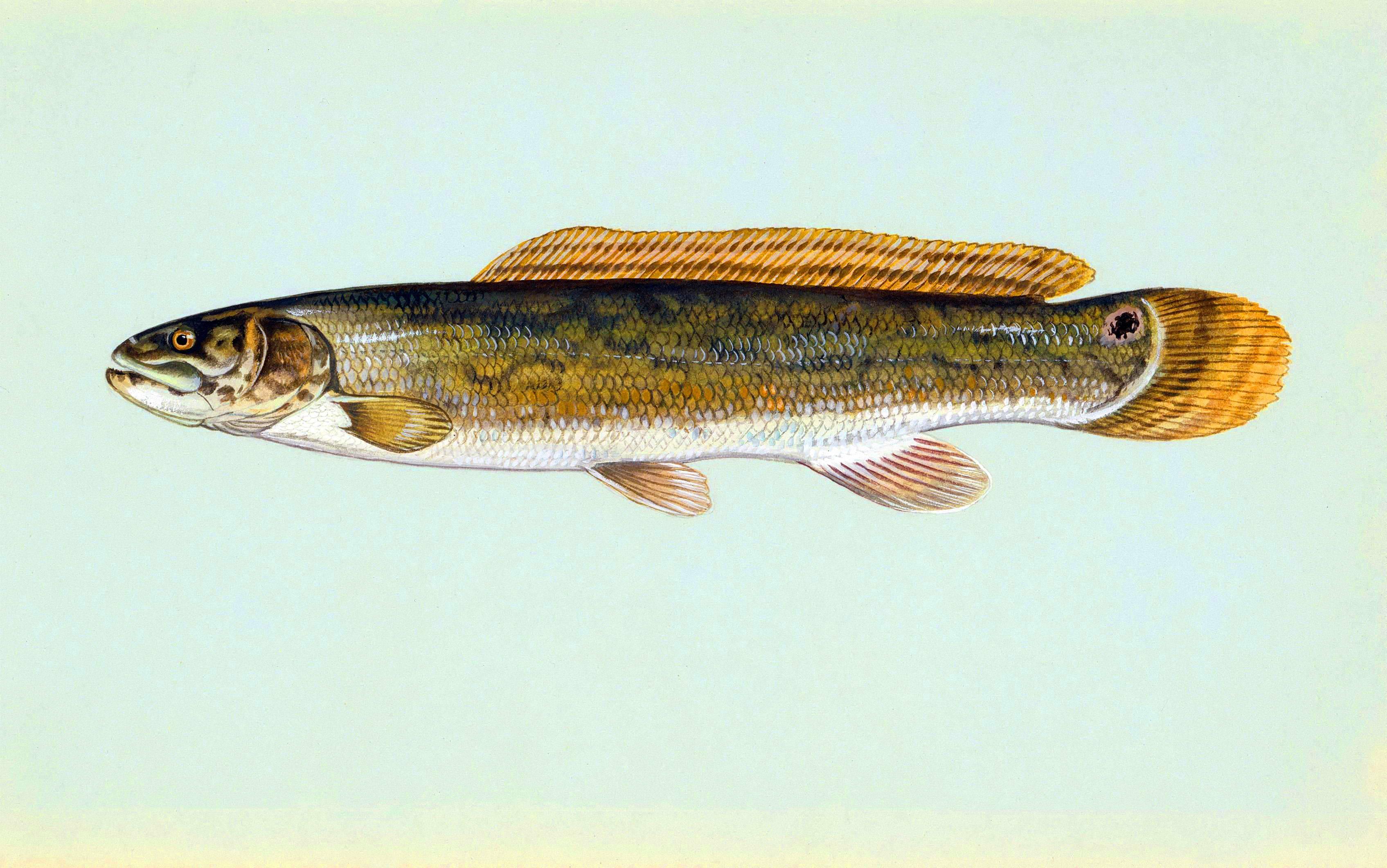 Ильная рыба — живое ископаемое : labuda.blog ильная рыба — живое ископаемое — «лабуда» информационно-развлекательный интернет журнал
