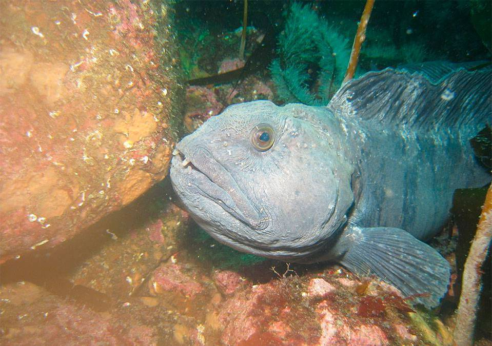 Рыба зубатка: польза и вред, фото и приготовление