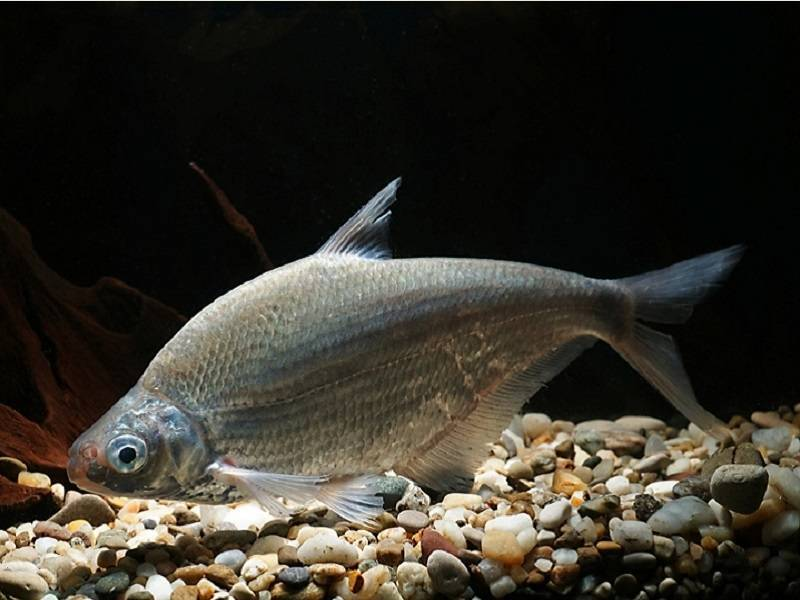 Рыба «Белоглазка» фото и описание