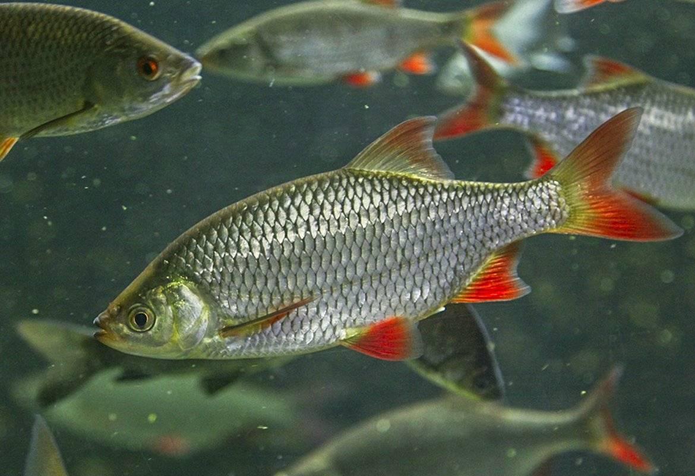 Рыба плотва: места обитания и разновидности, чем питается, особенности ловли и приготовления сороги