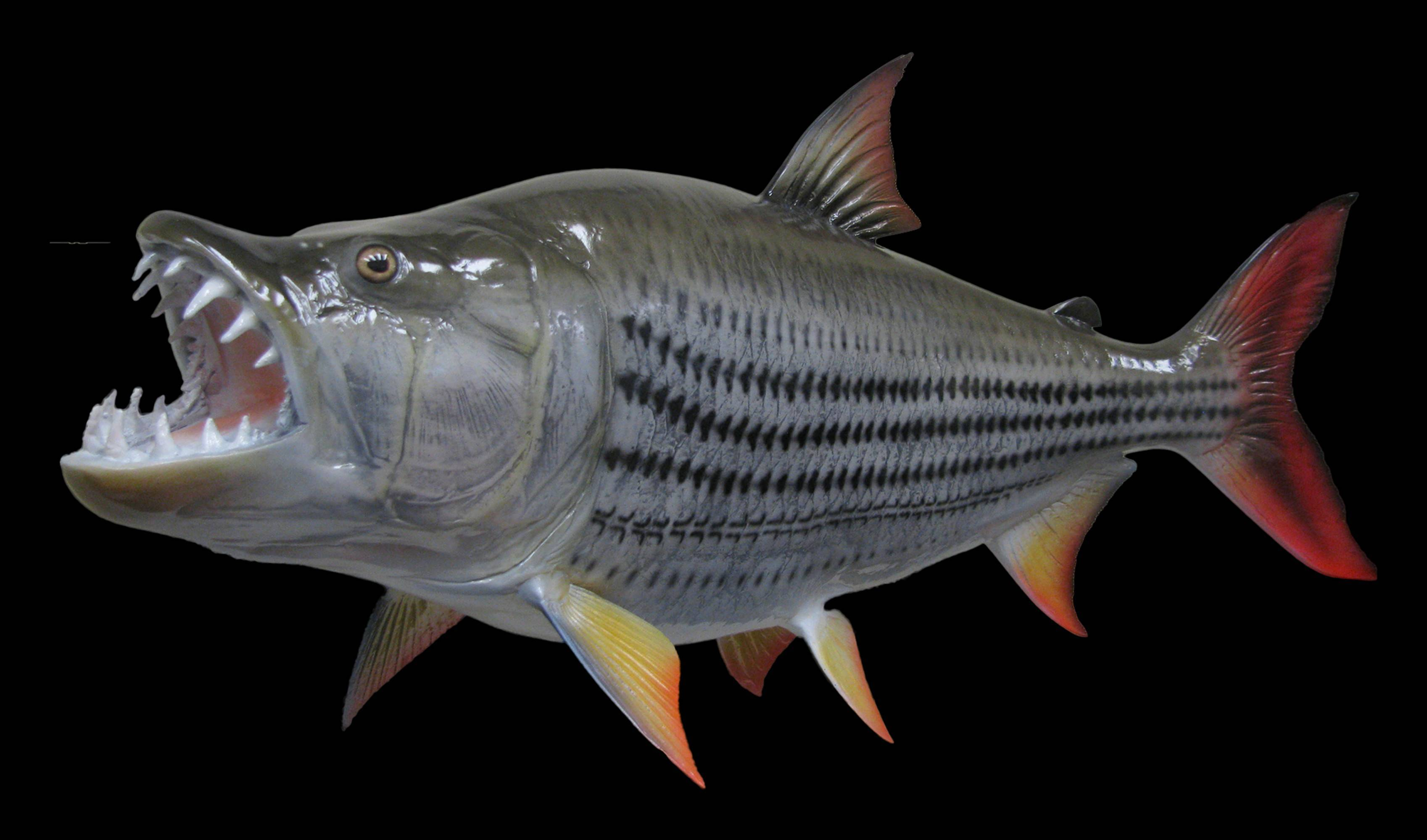 Рыба «Тигровая рыба африканская большая» фото и описание