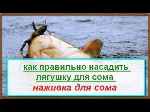 Ловля щуки на лягушку спиннингом. уловистая лягушка-незацепляйка на щуку