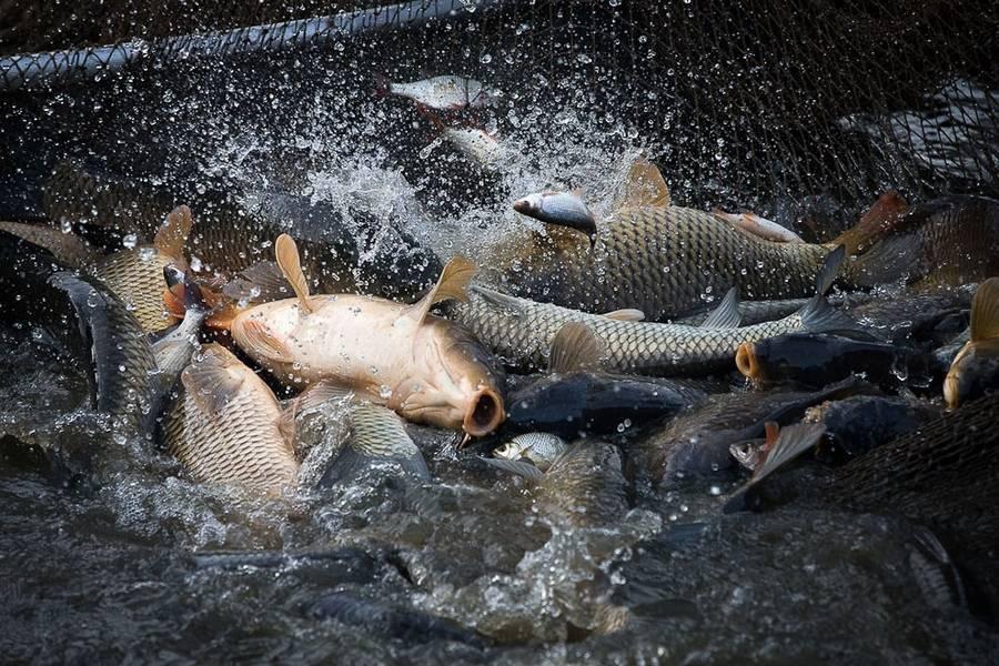 Карп или карповая рыба: сколько живет, хищник или нет?