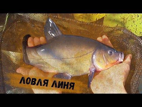 В каких водоёмах и где именно следует ловить линя. фото. видео