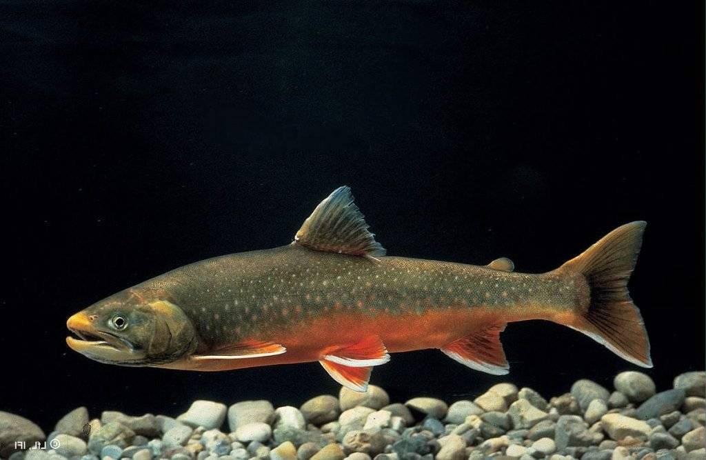 Где водится красная рыба голец, ее польза и вред