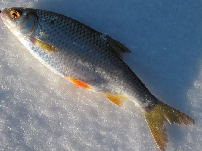 Обыкновенная плотва - распространённый вид рыбы
