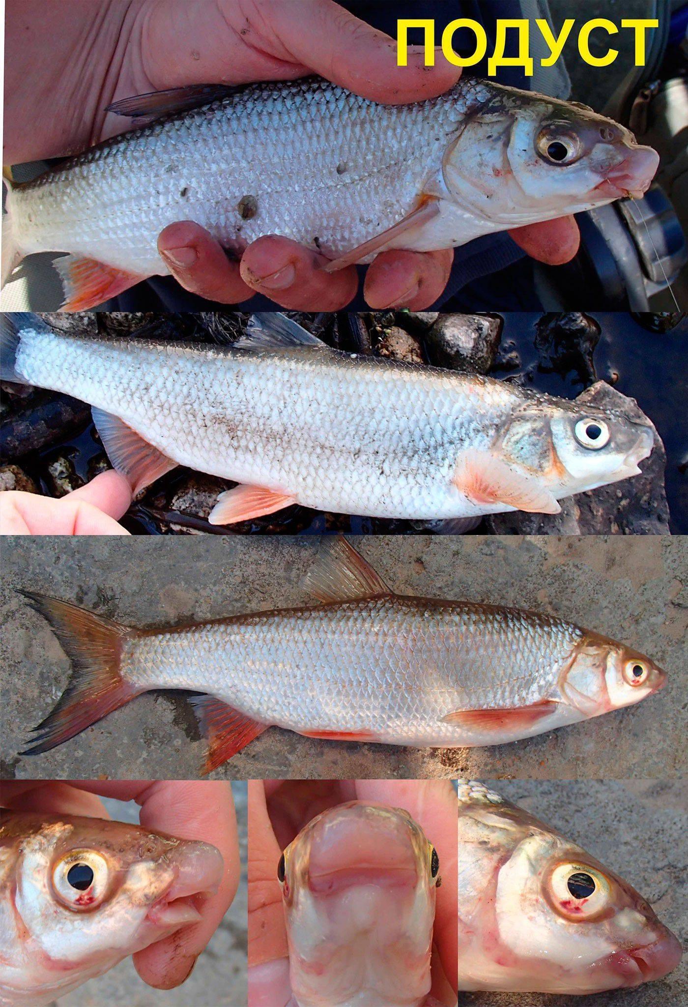 Рыба подуст фото и описание. примеры реальной рыбалки на подуста.
