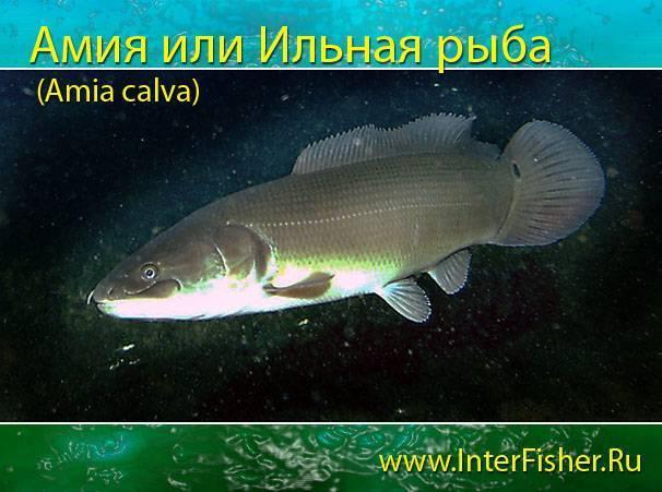 Красные аквариумные рыбы: выбираем жильцов огненного цвета (с фото)