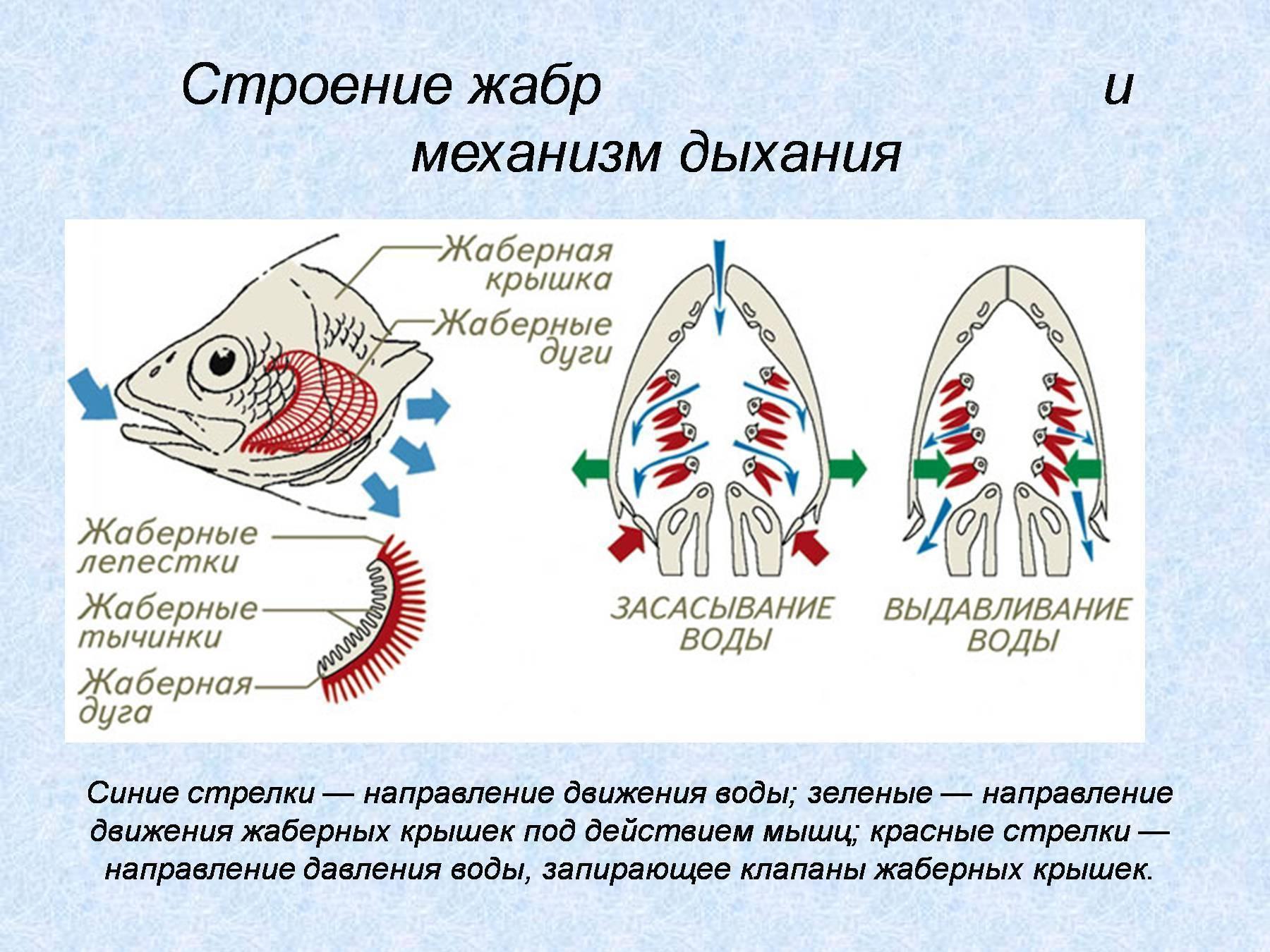Как дышать под водой? способы получения кислорода живыми существами. | животные