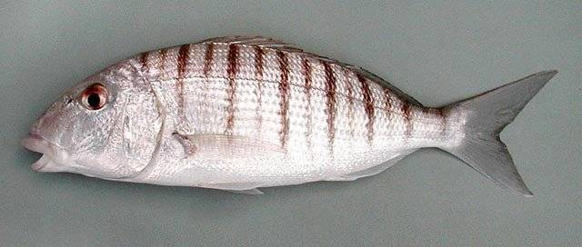 Польза рыбы аргентина - 95 фото и видео, состав, варианты приготовления и разновидности рыбы