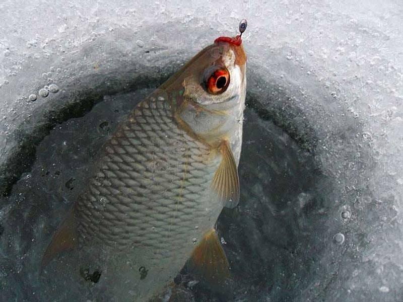Особенности ловли плотвы зимой – тактика, техника и снасти
