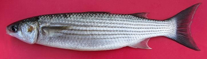 Звездчатый аротрон — необычная рыба