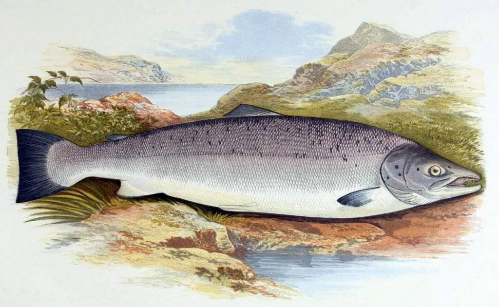 Рыба семга в россии: речная или морская ?
