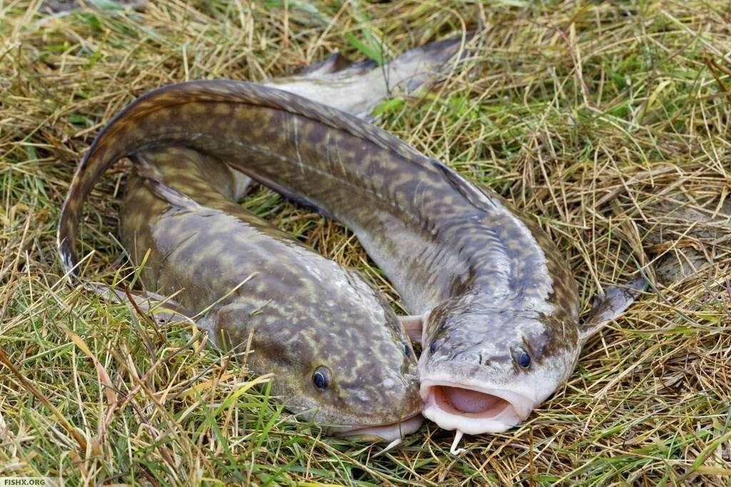 Налим (рыба). фото и описание | видео о налиме