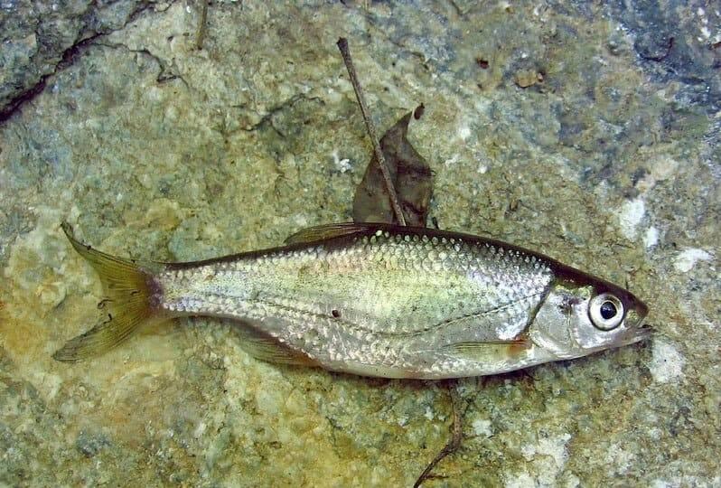 Быстрянка — alburnoides bipunctatus