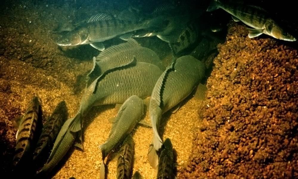 Зимовка и спячка рыб