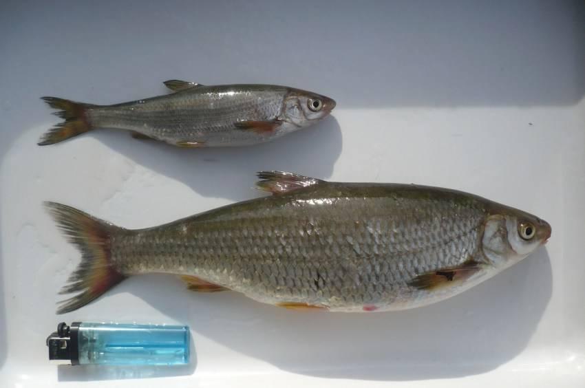 Ловля подуста: снасти для ловли и места обитания рыбы