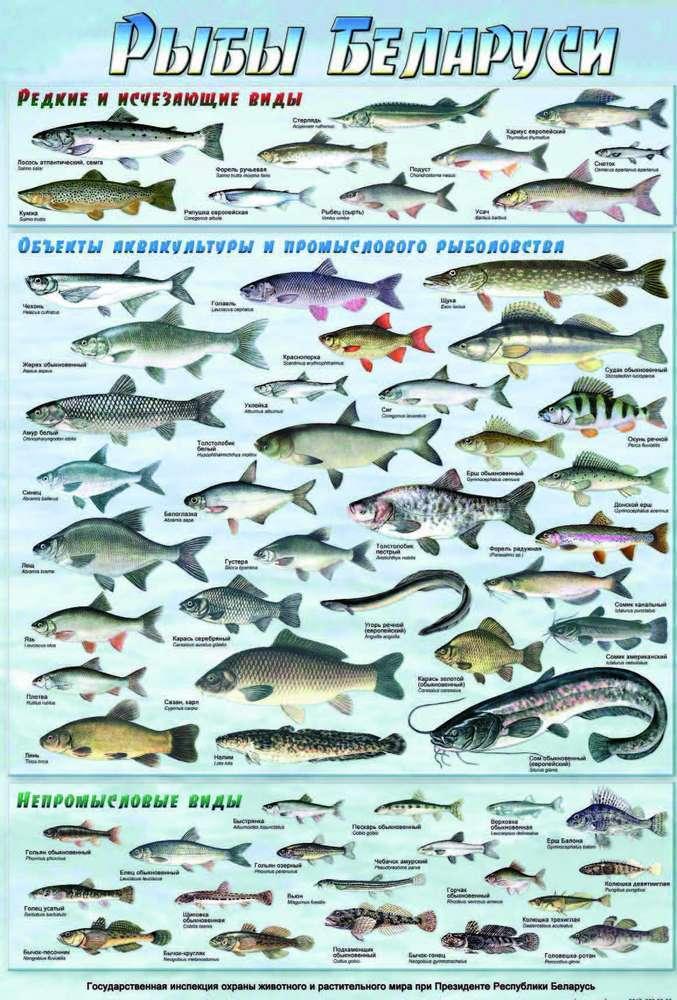 Ставрида - 95 фото небольшой рыбки промыслового значения