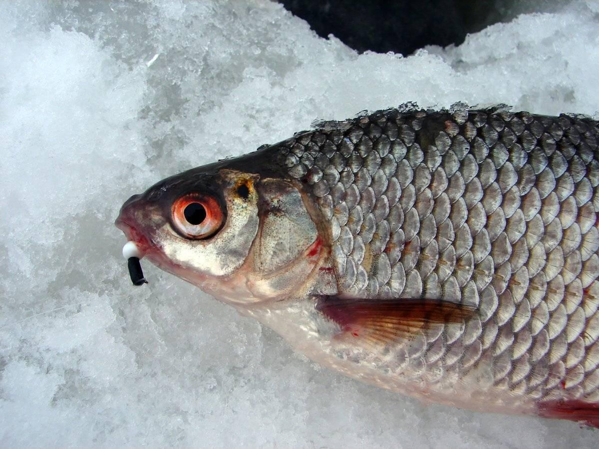 Ловля красноперки зимой со льда