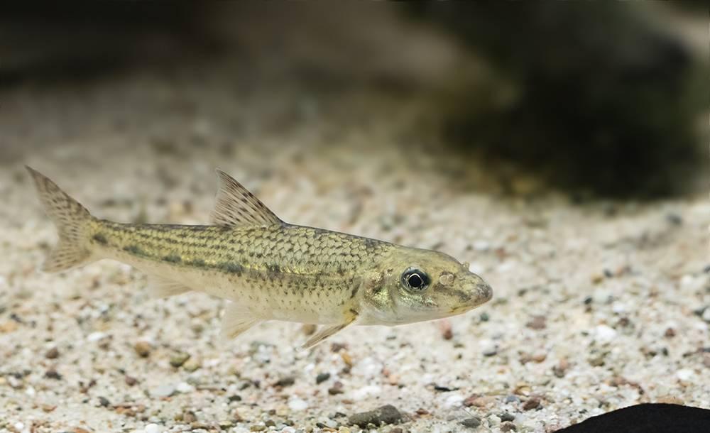 Белопёрый пескарь — википедия