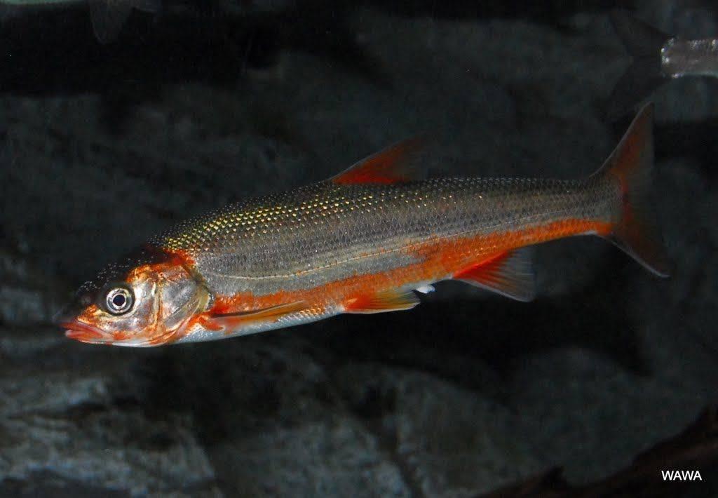 Рыба кунджа: описание, цена, фото, рецепты