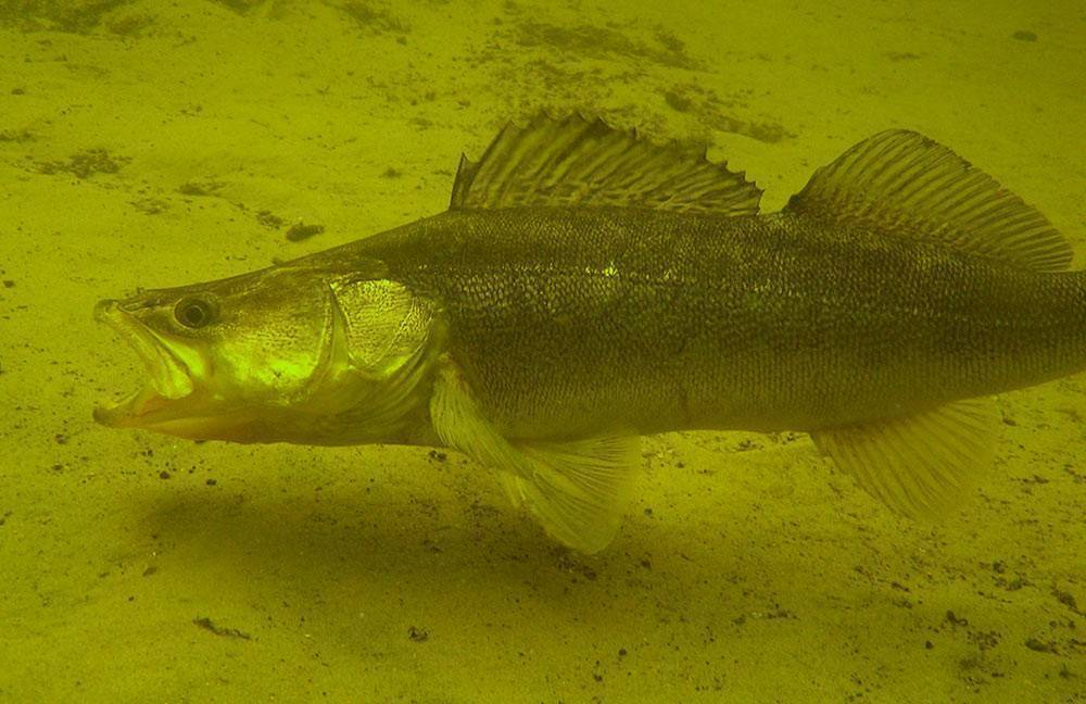Судак рыба. описание, особенности, виды, образ жизни и среда обитания судака | живность.ру