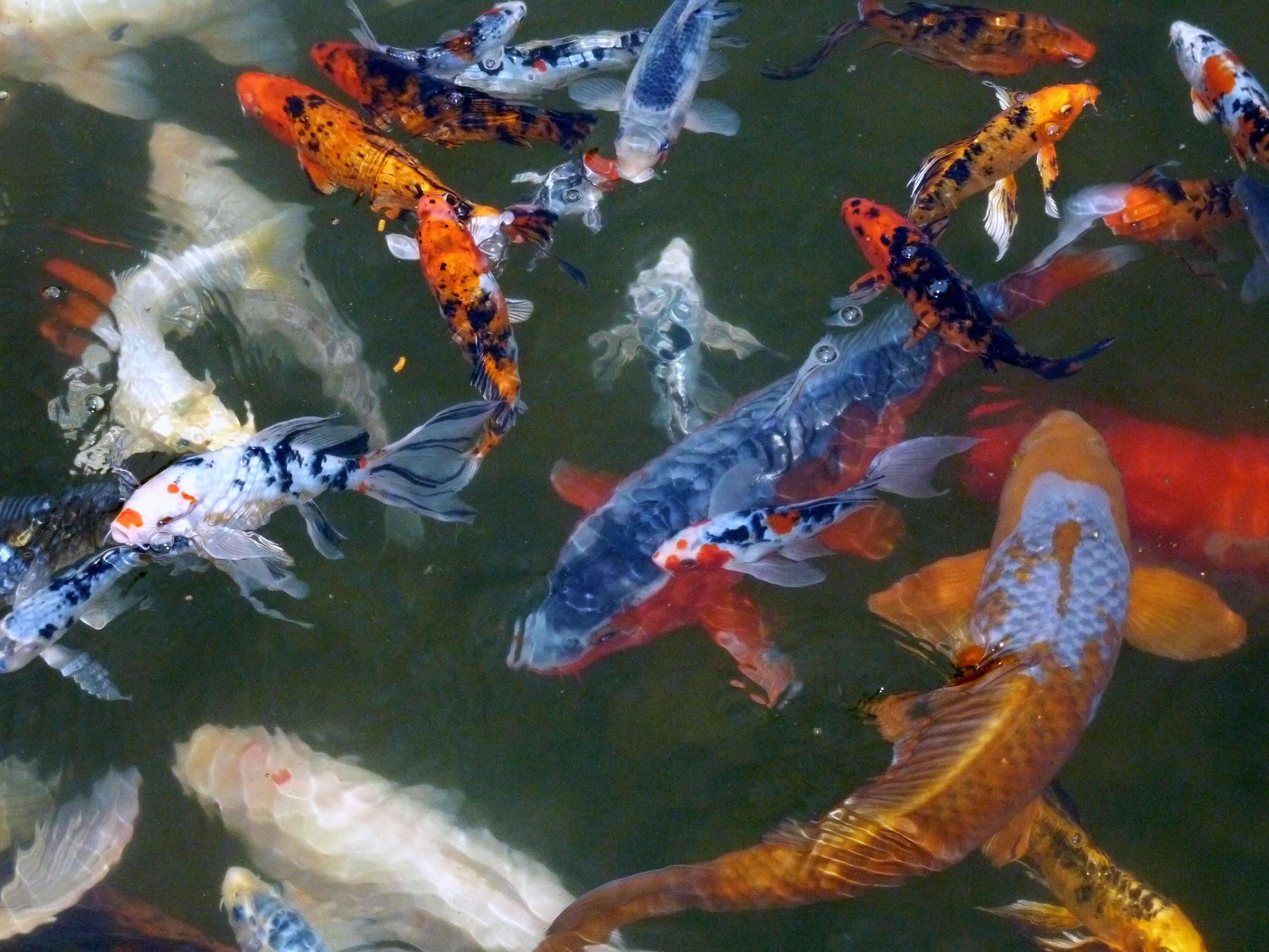 Карп кои: содержание в аквариуме, размножение японского красавца