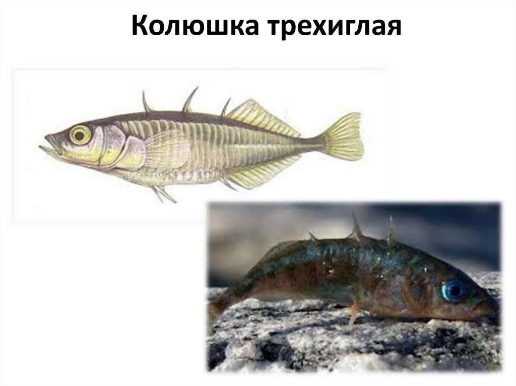 Трёхиглая колюшка: описание рыбы и её образ жизни