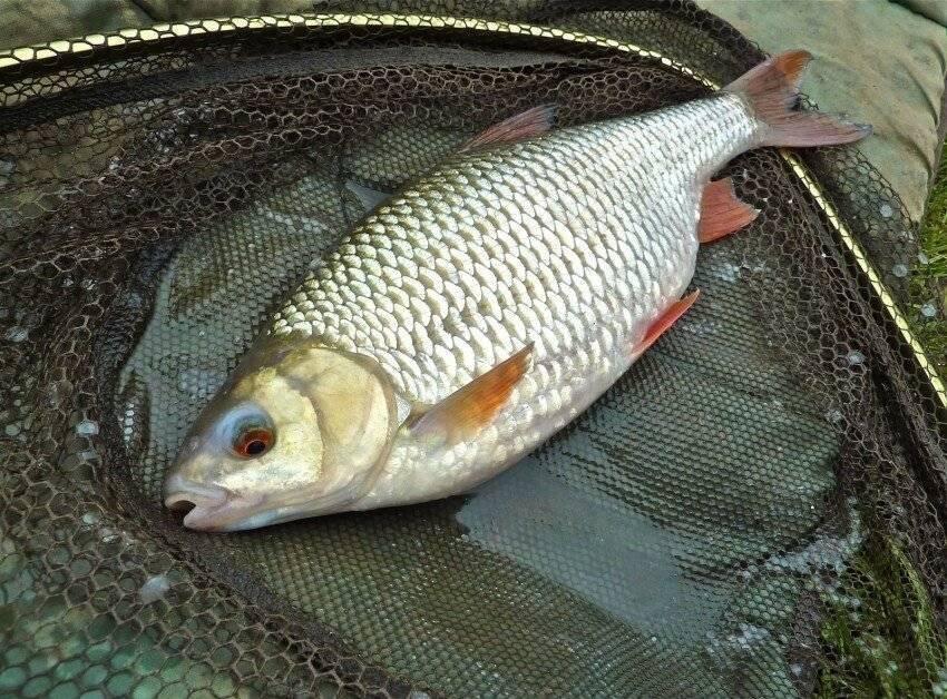 Описание рыбы плотва с фото и советами по ловле.
