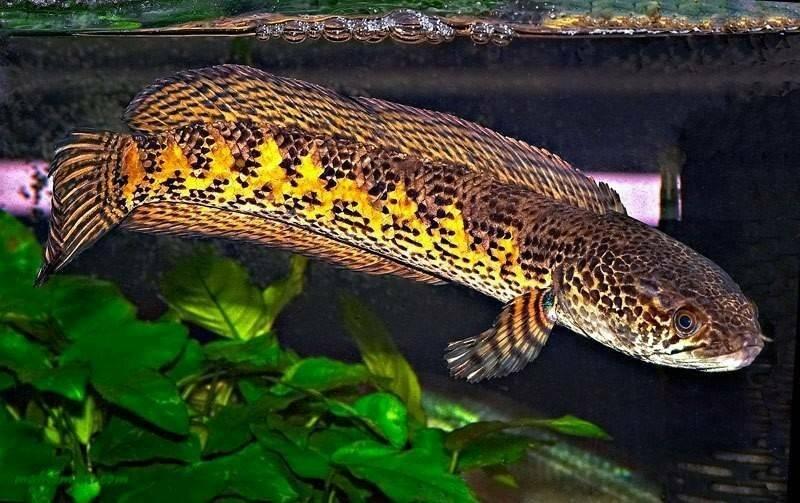 Рыба змееголов или змей голова