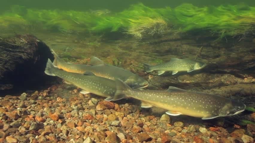 Рыба голец: описание и разновидности, ареал обитания и полезные свойства, рецепты приготовления блюд и фото