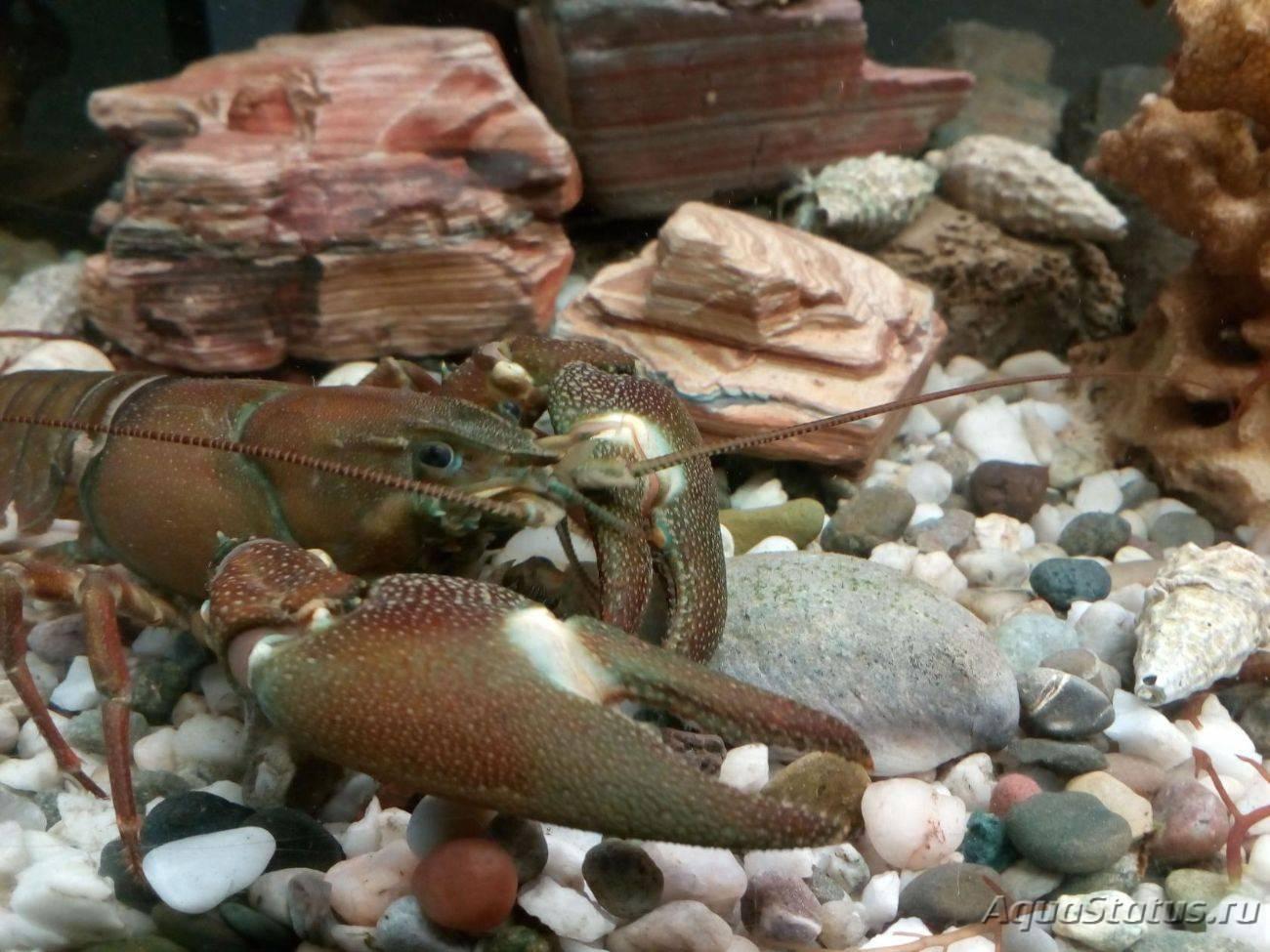 Рак речной широкопалый фото и описание – каталог рыб, смотреть онлайн