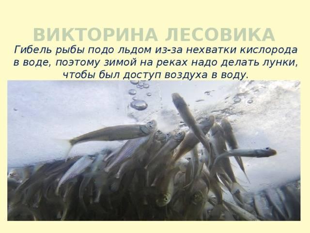Замор рыбы зимой: особенности, возможные причины и способы предотвращения