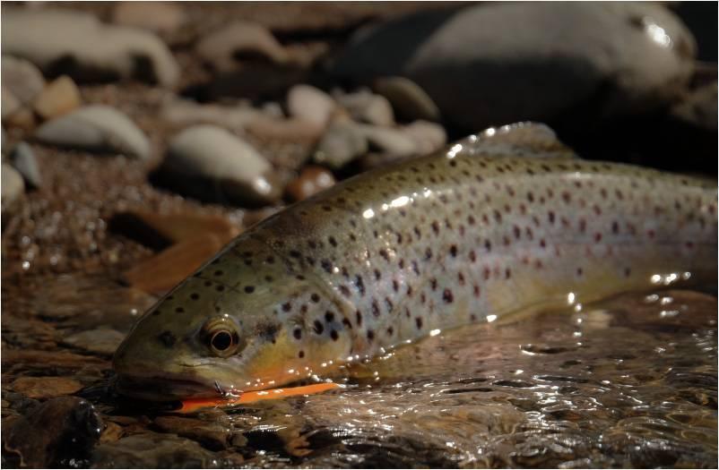 Ручьевая форель (пеструшка) - осетровые и лососевые