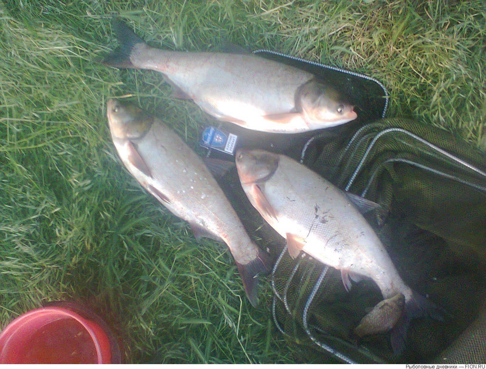 Необычный, но действенный метод ловли толстолобика | рыболовная база «берег удачи»
