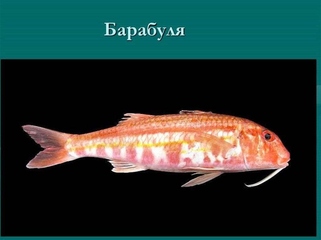 Что за рыба барабулька