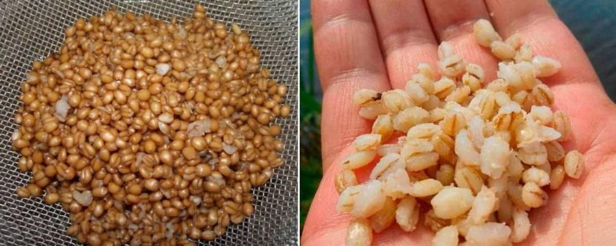 Как запарить пшеницу для рыбалки: отваривание и ферментация