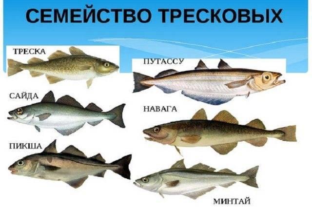Рыба семейства тресковых — особенности, виды, среда обитания