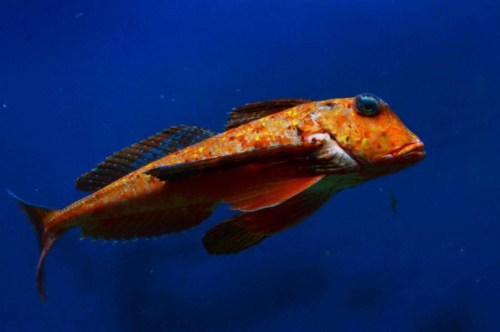 Обыкновенная щиповка: описание рыбы, где водится, разновидности