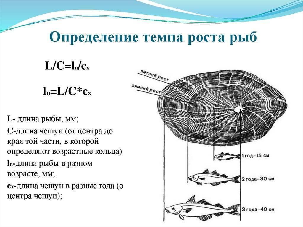 Определения возраста рыб - по чешуе