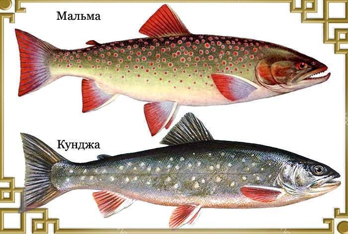 Рыба голец польза и вред
