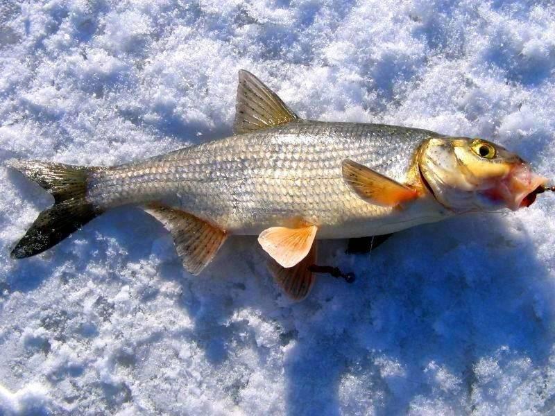 Способы оснастки зимнего удилища для ловли плотвы