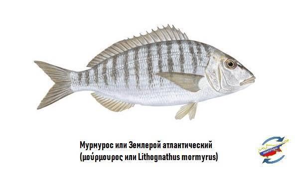 Как поймать рыбу мармир (атлантический землерой, sand steenbras) в средиземном море израиля - где и на что ее ловить  | все о рыбалке в израиле