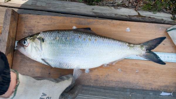 Рыба «Шэд» фото и описание