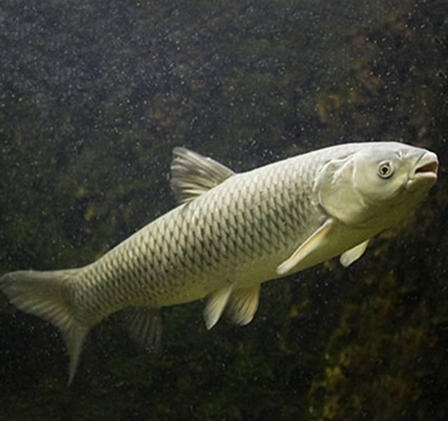 Белый амур: описание, рацион, места обитания и способы ловли